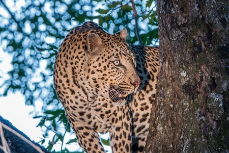 sabi: Leopard in a tree in the Sabi Sands, South Africa. Stock Photo