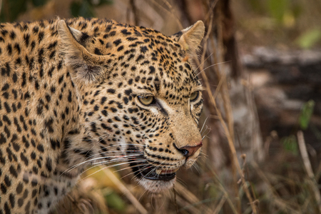 sabi: Side profile of a Leopard in the Sabi Sands, South Africa. Stock Photo