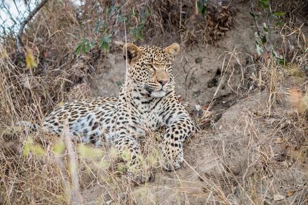 sabi sands: Starring Leopard in the Sabi Sands, South Africa