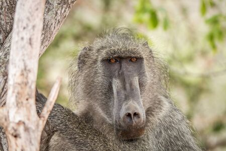 kruger: Starring Baboon in the Kruger National Park, South Africa. Stock Photo