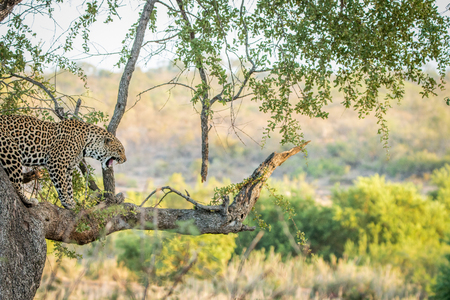 big 5: Leopard in a tree in the Kruger National Park, South Africa.