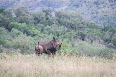 starring: Starring mother White rhino and young, South Africa.