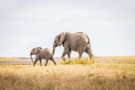 sabi sands: Walking Elephants in the Sabi Sands, South Africa.