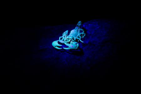 Scorpion in an UV light, South Africa. Reklamní fotografie