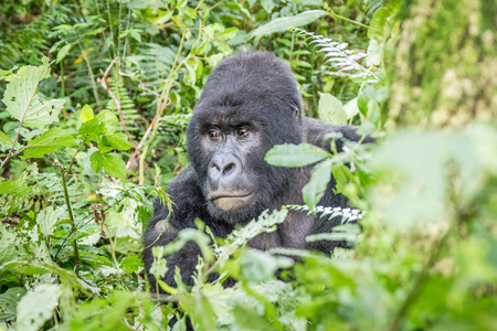 silverback: Starring Silverback Mountain gorilla in the Virunga National Park, Democratic Republic Of Congo.