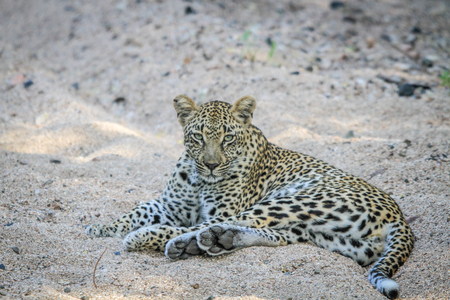 sabi: Leopard laying in the sand in the Sabi Sands, South Africa.