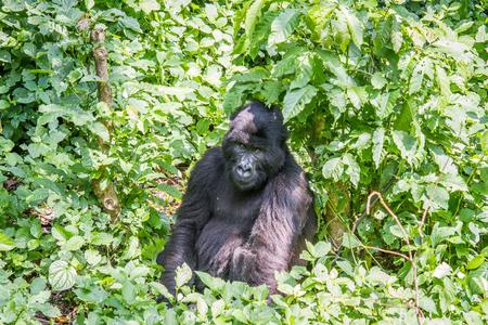 silverback: Silverback Mountain gorilla sitting in the Virunga National Park, Democratic Republic Of Congo.