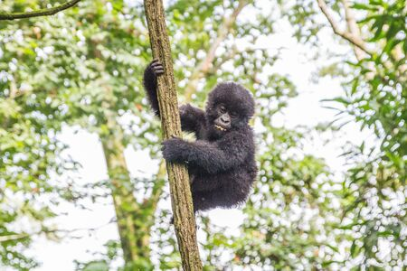democratic: Baby Mountain gorilla in a tree in the Virunga National Park, Democratic Republic Of Congo.