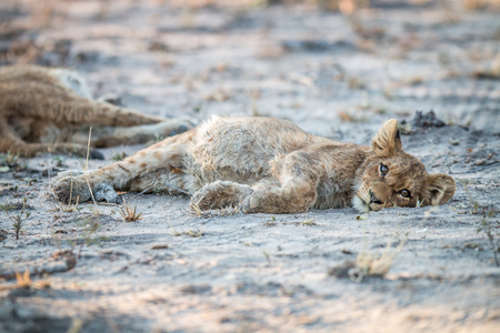 Lion cub laying on the dirt in the Sabi Sabi game reserve, South Africa.