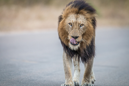 towards: Male Lion walking towards the camera in the Kruger National Park, South Africa. Stock Photo