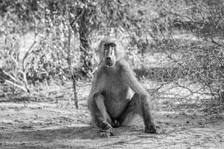starring: A starring Baboon in black and white in the Kruger National Park, South Africa. Stock Photo