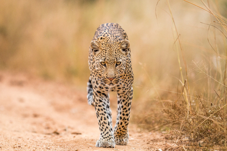 Leopard walking towards the camera in the Kruger National Park, South Africa.