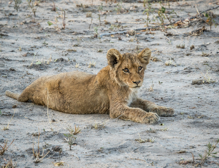sabi: Lion cub laying on the dirt in the Sabi Sabi game reserve, South Africa.i