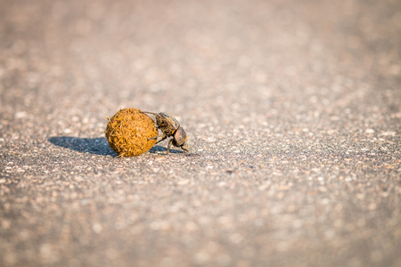 Dung beetle rolling a ball of dung on the road in the Kruger National Park, South Africa. Reklamní fotografie