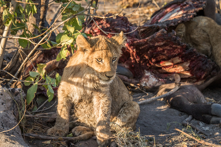 karkas: Lion cub zitten naast een Buffalo karkas in het Kruger National Park, Zuid-Afrika. Stockfoto