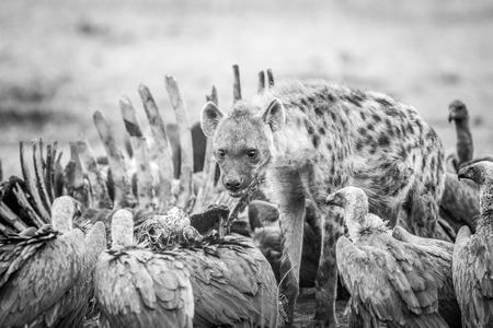 karkas: Gevlekte hyena op een karkas met Gieren in zwart en wit in het Sabi Sabi wildreservaat, Zuid-Afrika. Stockfoto