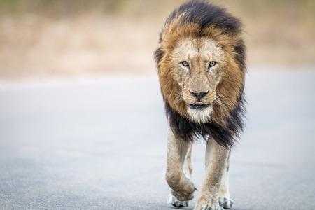 walking lion stock photos royalty free walking lion images