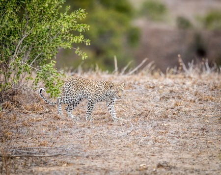 big 5: Baby Leopard walking in the grass in the Kruger National Park, South Africa. Stock Photo