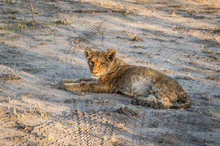 the game reserve: Lion cub laying on the dirt in the Sabi Sabi game reserve, South Africa.