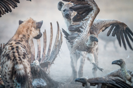 karkas: Spotted Hyena at a carcass with a flying Vulture in the Sabi Sabi game reserve, South Africa.