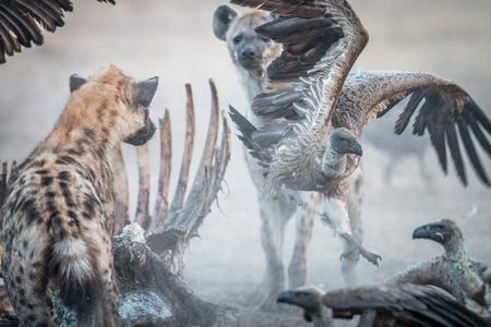 karkas: Spotted Hyena op een karkas met een vliegende Gier in de Sabi Sabi wildreservaat, Zuid-Afrika.