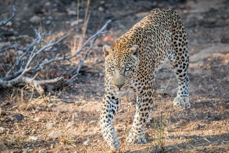 big 5: Leopard walking towards the camera in the Kruger National Park, South Africa.