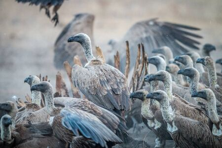 karkas: A group of White-backed vultures on a carcass in the Sabi Sabi game reserve, South Africa. Stockfoto
