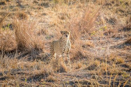 sabi: Starring Cheetah in the grass in the Sabi Sabi game reserve, South Africa.
