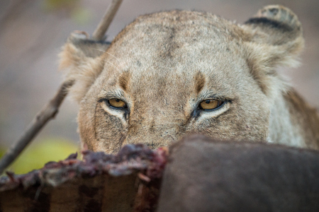 sabi: Lioness looking over a Buffalo carcass in the Sabi Sabi game reserve, South Africa.