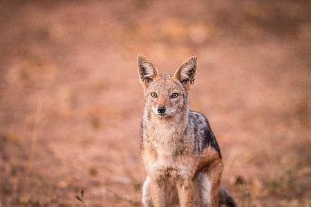 starring: A starring Black-backed jackal in the Kruger National Park, South Africa.