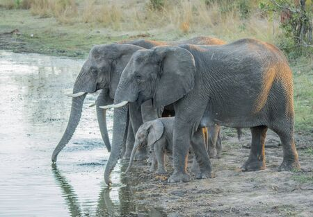 big 5: Little herd of Elephants drinking in the Kruger National Park, South Africa.