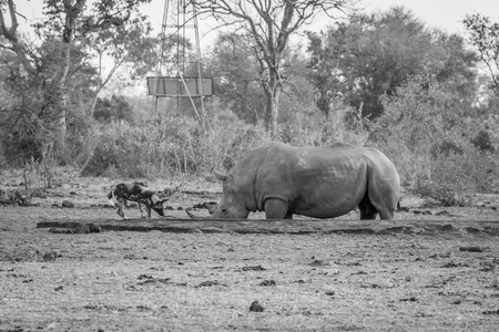 african wild dog: African wild dog drinking next to a White rhino in black and white in the Kruger National Park, South Africa.