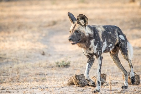 lycaon pictus: Walking African wild dog in the Kruger National Park, South Africa.