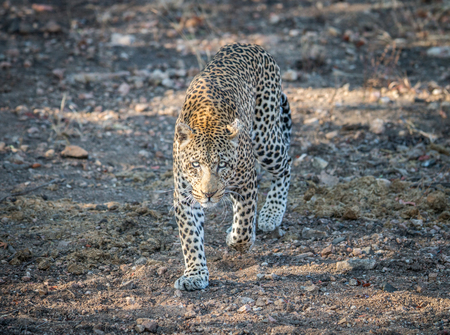 big 5: .Leopard walking towards the camera in the Kruger National Park, South Africa. Stock Photo