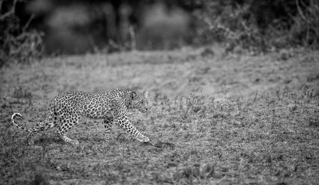 big 5: Walking baby Leopard in black and white in the Kruger National Park, South Africa.