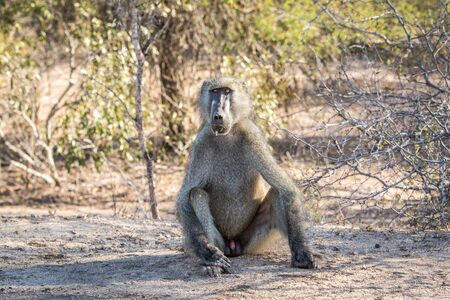 starring: A starring Baboon in the Kruger National Park, South Africa.