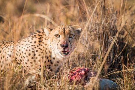 sabi: Cheetah on a Reedbuck kill in the Sabi Sabi game reserve, South Africa.