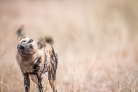 african wild dog: African wild dog shaking himself in the Kruger National Park, South Africa. Stock Photo