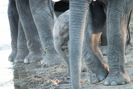 big 5: A young Elephant in between the legs of adults in the Kruger National Park, South Africa.