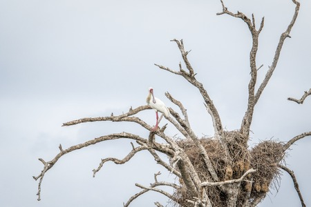 south african birds: An African spoonbill sitting in a tree in the Kruger National Park, South Africa. Stock Photo