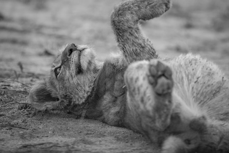 sabi: Lion cub laying in the dirt in black and white in the Sabi Sabi game reserve, South Africa.