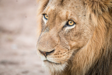 starring: Starring Lion in the Kruger National Park, South Africa.