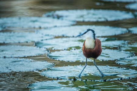 jacana: An African jacana in the water in the Kruger National Park, South Africa.