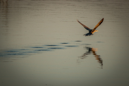 kruger: An African darter flying over the water in the Kruger National Park, South Africa. Stock Photo