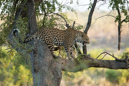 growling: Leopard growling from up in a tree in the Kruger National Park, South Africa. Stock Photo