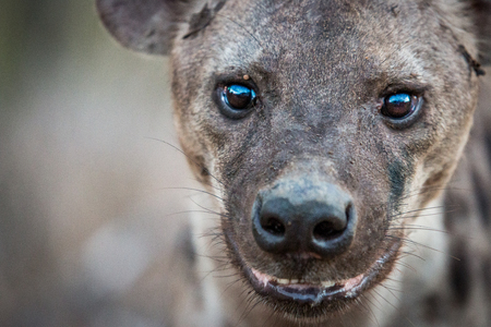 starring: Spotted hyena starring in the Kruger National Park, South Africa.