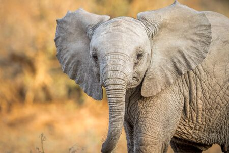 starring: A Young Elephant starring at the camera in the Kruger National Park, South Africa.