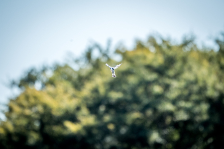 kruger: Flying Pied kingfisher in the Kruger National Park, South Africa. Stock Photo