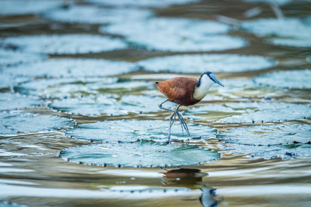 jacana: African Jacana on the water in the Kruger National Park, South Africa.