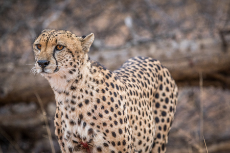 Cheetah starring in the Kruger National Park, South Africa.